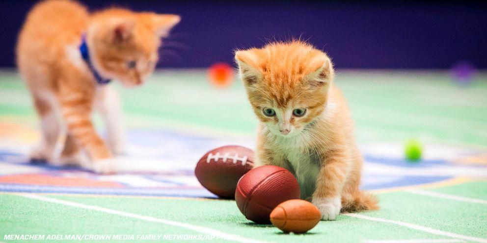 Don't want to watch the Super Bowl? Try the Kitten Bowl!