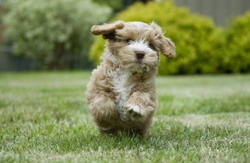 10 Most Popular Designer Dog Breeds Designer Dogs Breeds Dog