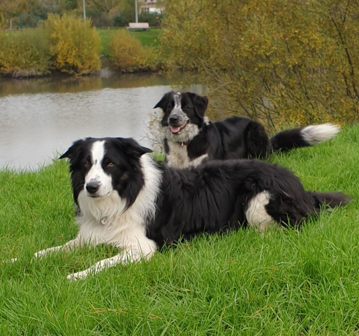 Pin By Julie Shuchman On Border Collie Border Collie Collie Dogs