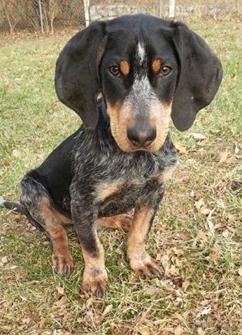 Adopt Basket On Bluetick Coonhound Dogs Puppies