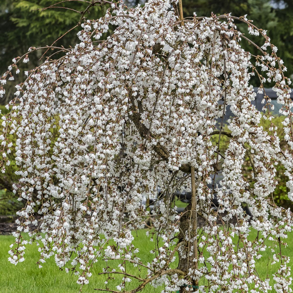 Snow Mountain Weeping Cherry Tree In Bloom Weeping Cherry Tree Trees To Plant Cherry Tree