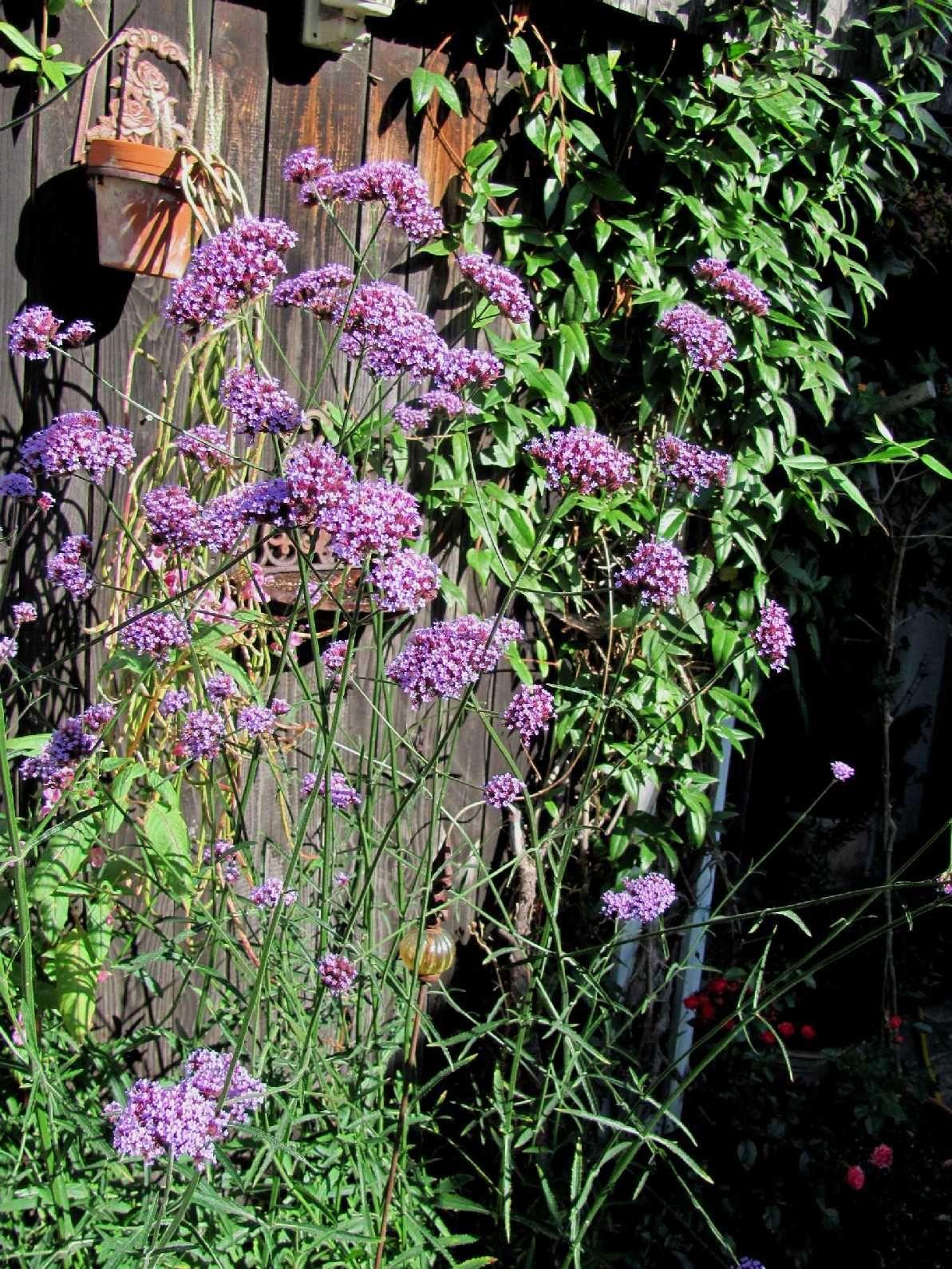 garten anders pflanzentipp f r den herbst hohes eisenkraut verbenia bonariensis gardening. Black Bedroom Furniture Sets. Home Design Ideas