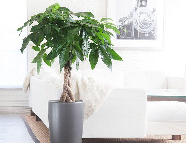 Large Indoor House Trees: 10 Best Indoor Plants For Men. Money Tree. Most Feng Shui