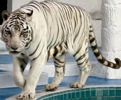 Tigre Blanco Png Buscar Con Google