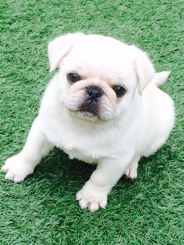 Cute White Pug Puppy Dogs Pinterest Valpar And Hundar