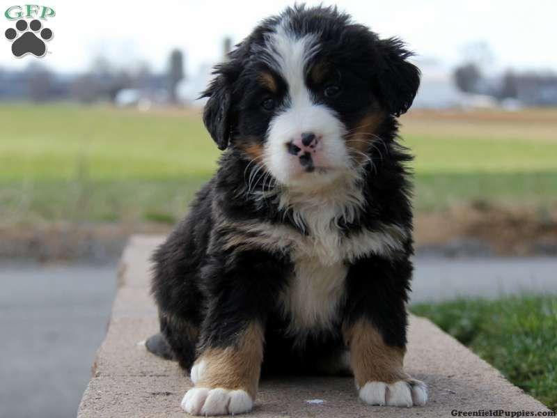 Bernese Poodle Mix Puppies Pet Lovers Hundar