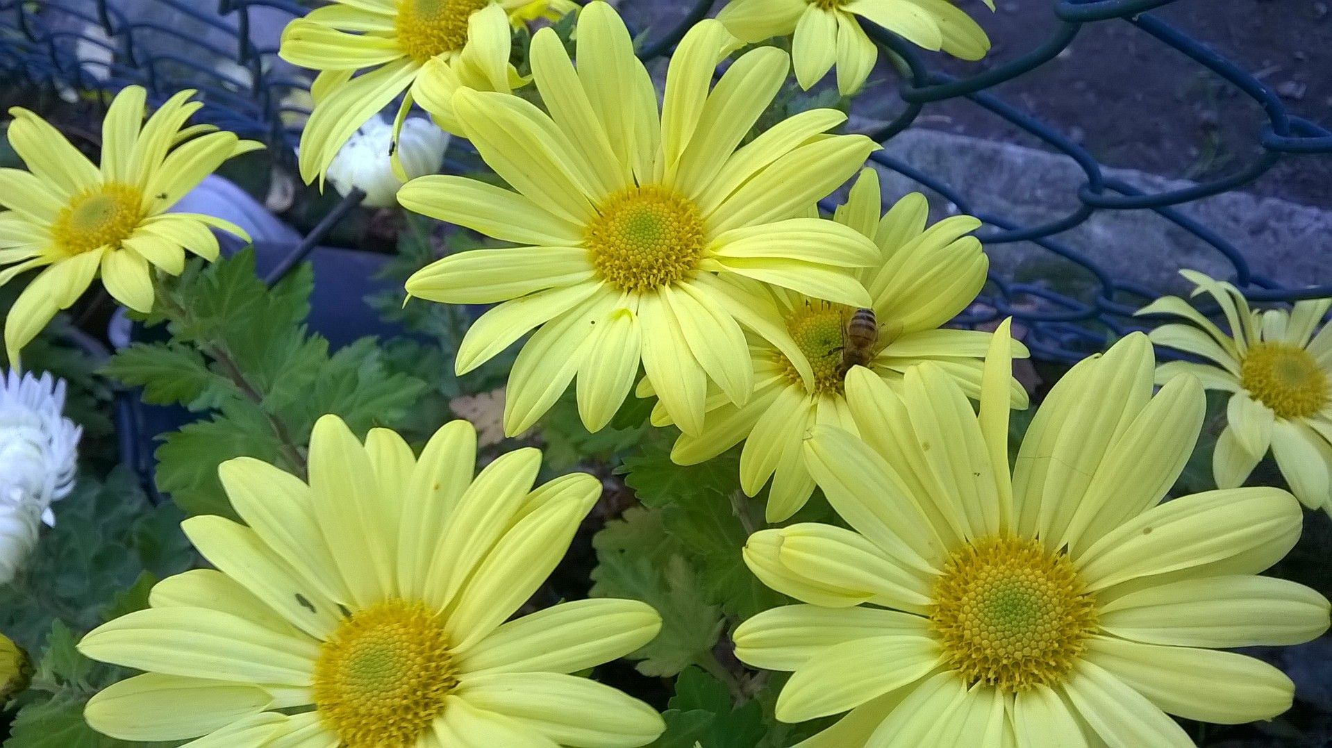 Crisantemi gialli.
