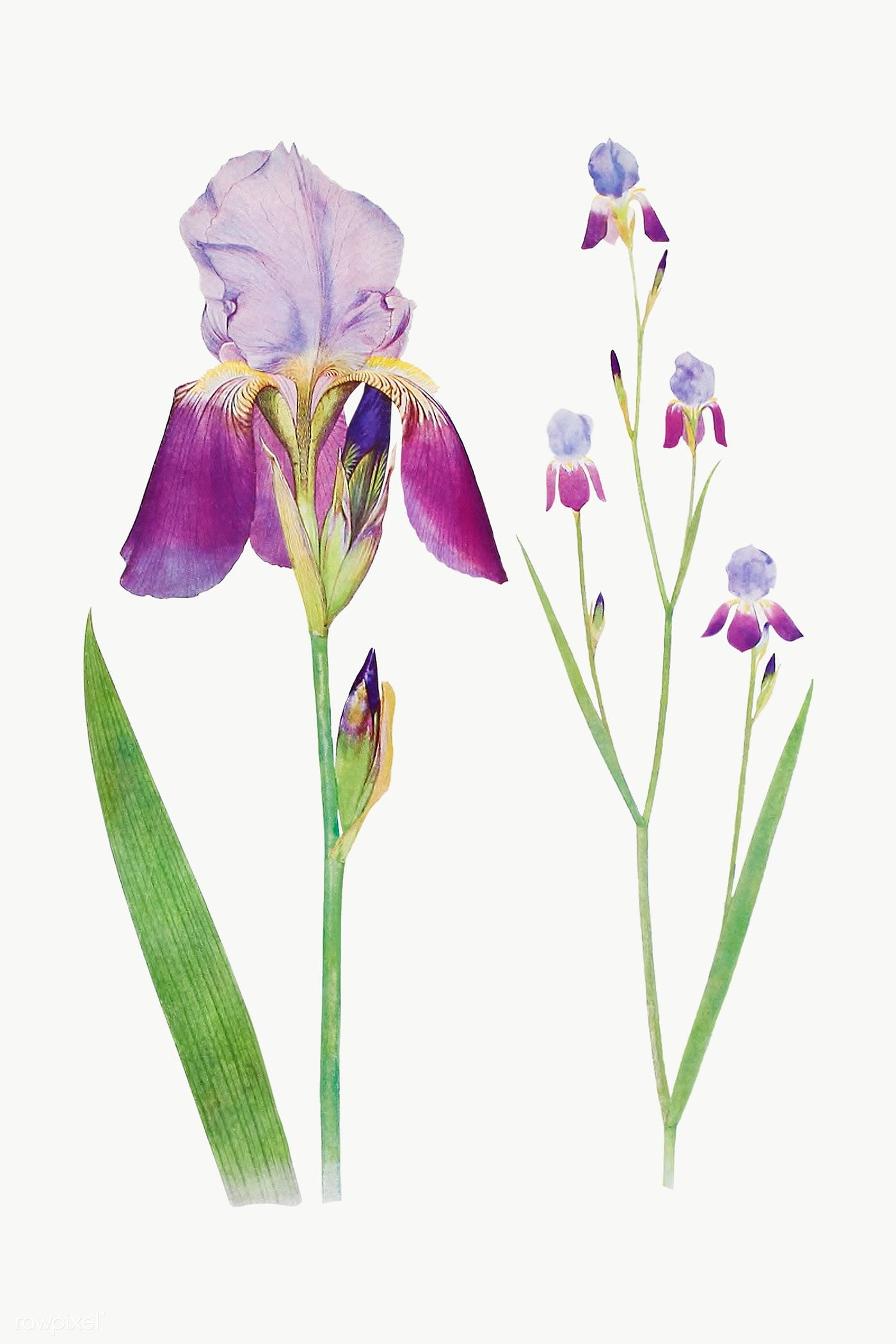 Vintage Iris Flower Illustration Transparent Png Premium Image By Rawpixel Com Flower Illustration Iris Flowers Botanical Drawings