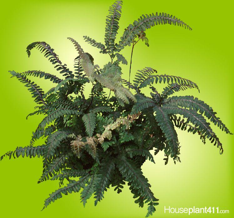 Adiantumhispidulum Rough Maidenhair Fern or fivefingered jack