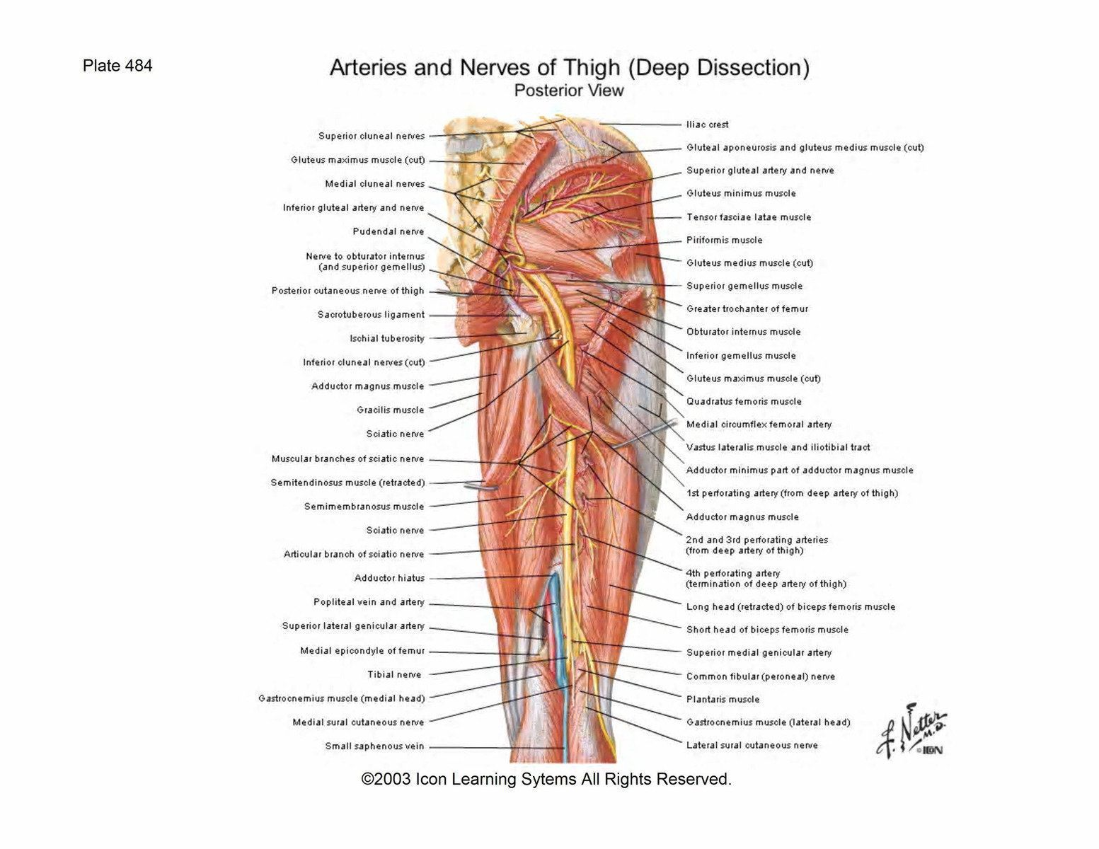 In human anatomy, the hamstring is a group of tendons contracted by ...