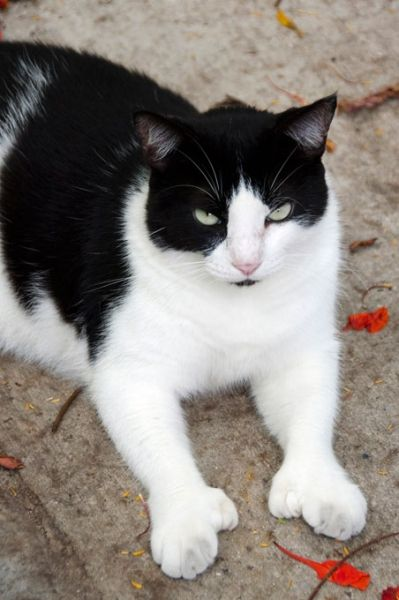 One of Ernest Hemingway's polydactyl cats....so cute! Key West,Florida.'