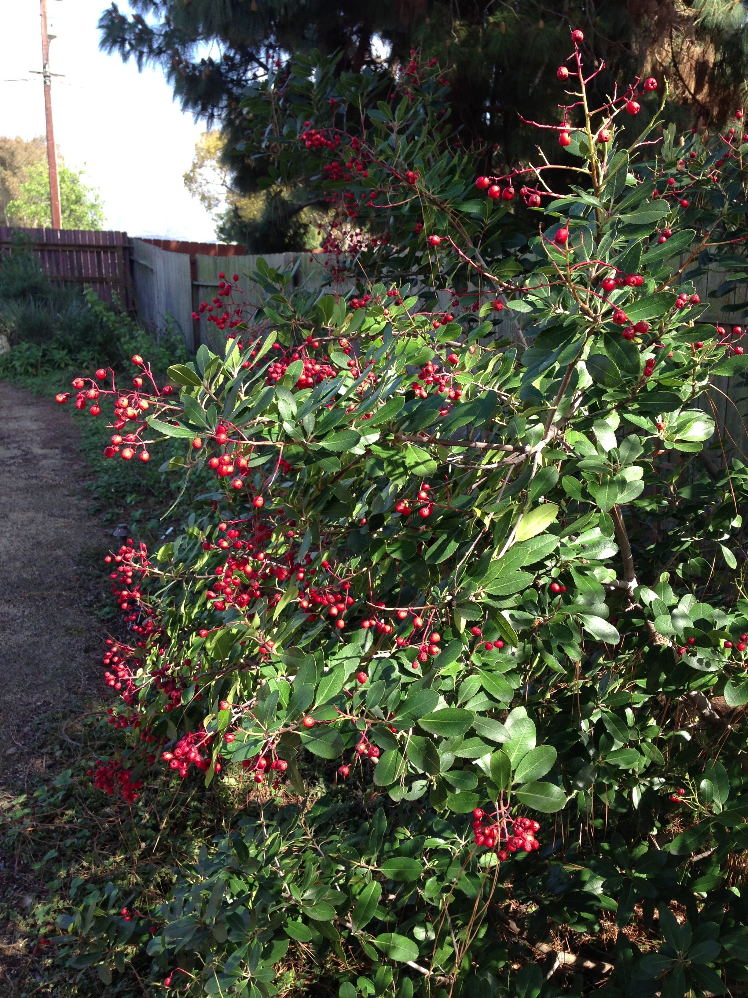 The toyon STILL has berries on it! Seems late to me, but I'm not complaining.