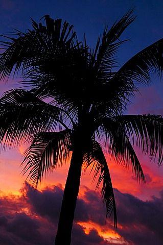 Aruba, silueta de la palmera en la puesta del sol