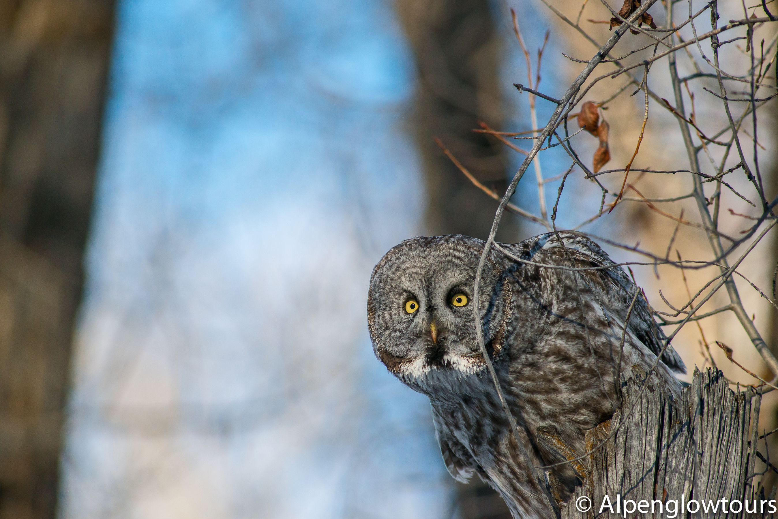Great Grey Owl, Grand Teton National Park | Grand teton ...