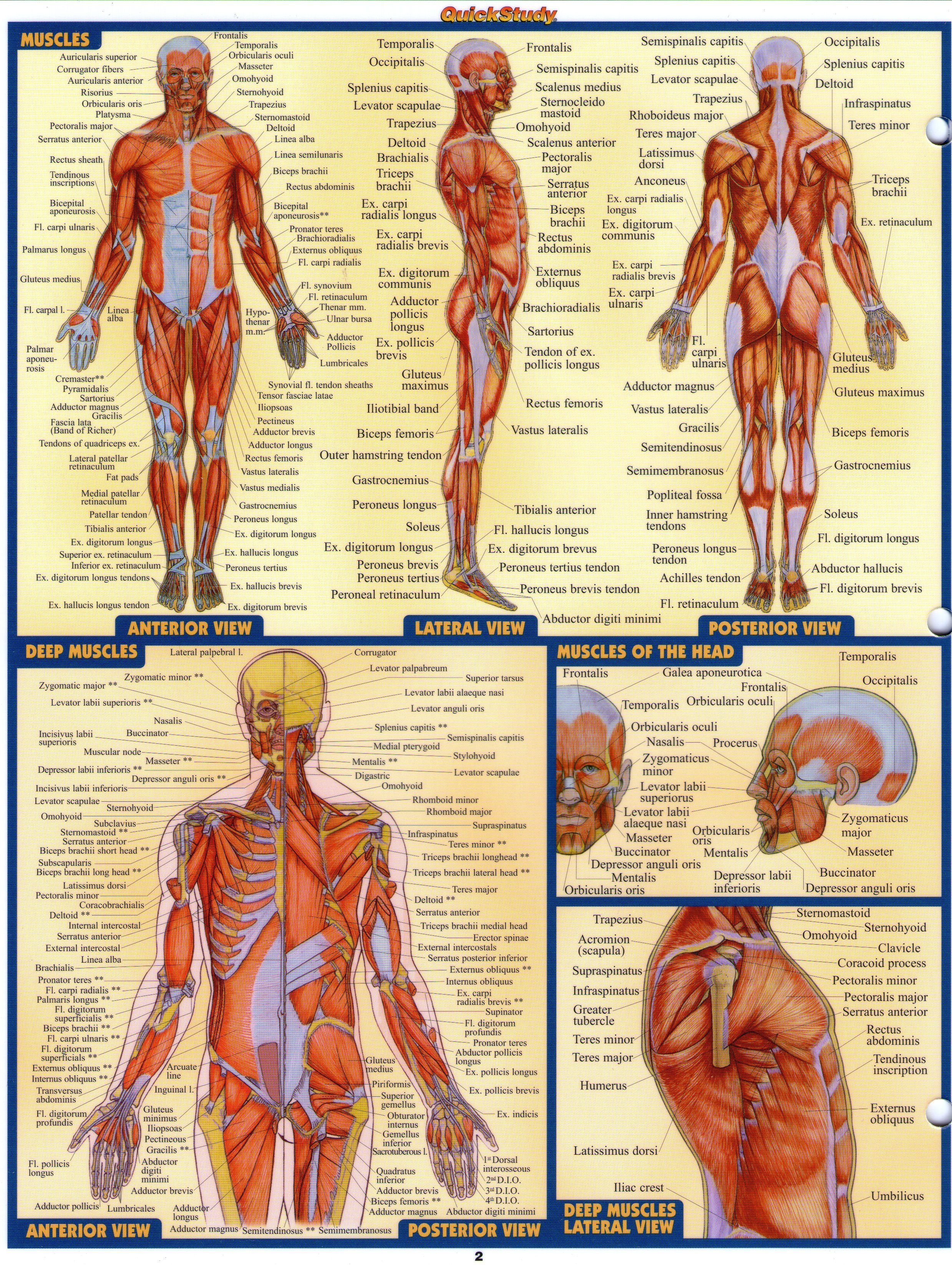 A&P 2 Love these cheat sheets!! | Nursing | Pinterest | Anatomy