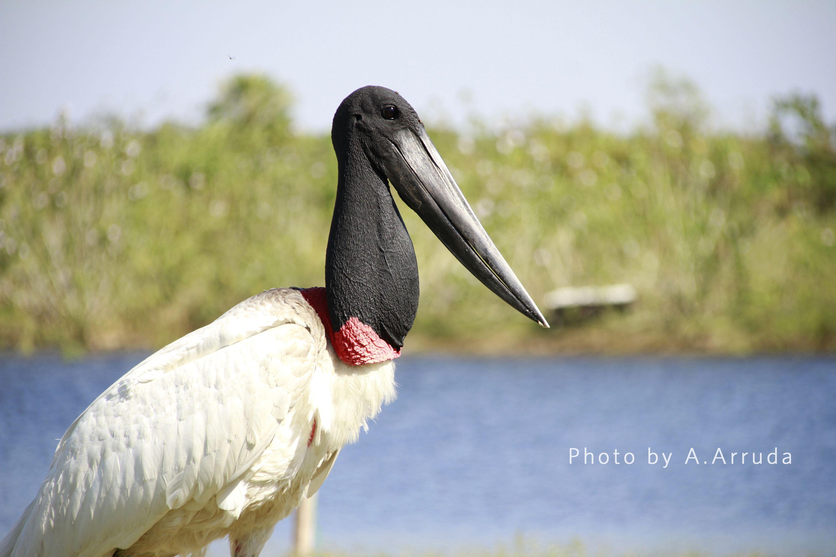 Symbol of Pantanal Brazilian
