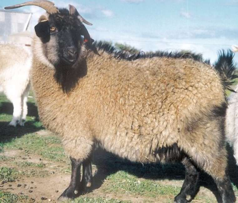 Different Types Of Wool Yielding Animals Google Search Goats