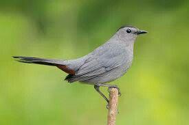 Cat bird | Birds and Other Beauties | Birds, Common birds