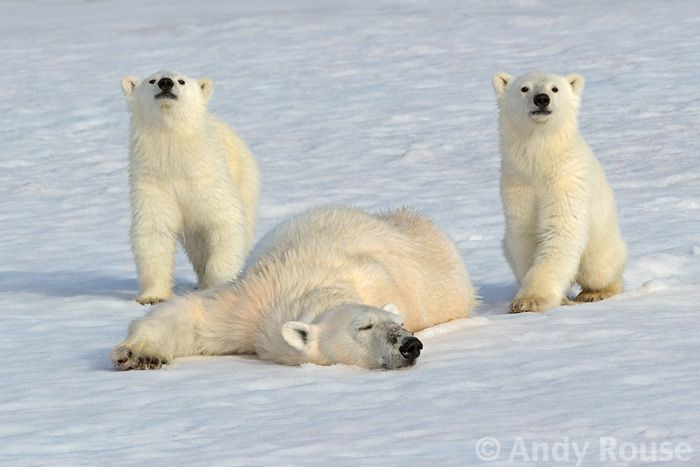 """""""These kids are wearing me out.""""  Polar Bear with cubs by Andy Rouse, via 500px"""