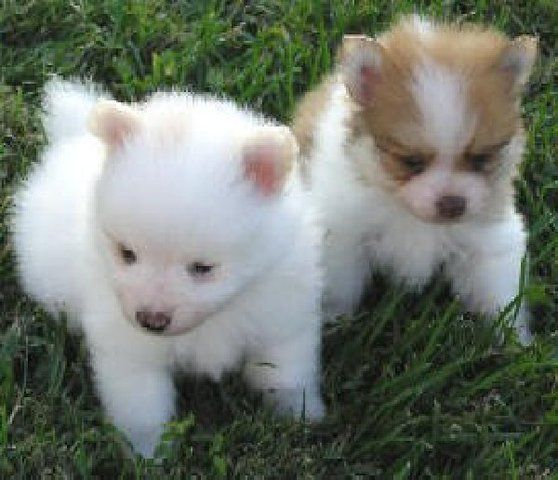 Puppies For Sale Well Home Trained Pomeranian Puppies For Sale