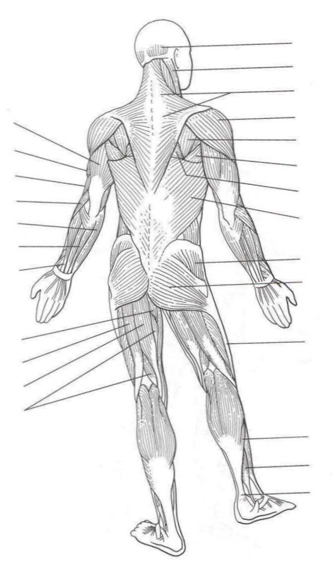 Muscles Of The Body Quiz