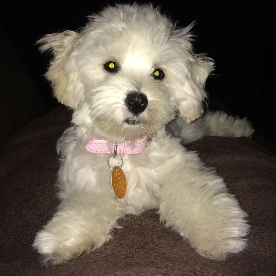 Worlds Cutest Maltipoo Maltipoo Pets Animals