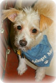 Phoenix Az Cairn Terrier Lakeland Terrier Mix Meet Harry A Dog