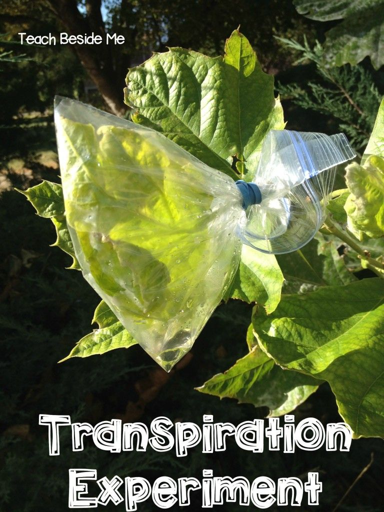 leaf transpiration experiment