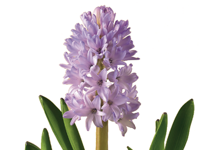 Hyacinth Constancy Blue Sincerity With Images Flower Meanings Flower Arrangements Flowers