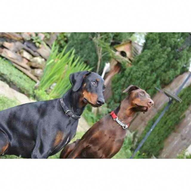 Everything We All Love About The Doberman Pinschers Pup