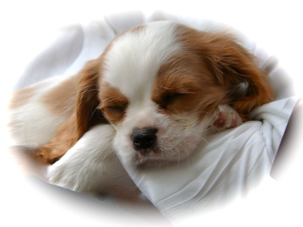 Their Size And Usually Quiet Nature Make Cavalier King Charles Spaniels Great Candidates For Apartment Or Condo Living They Are Moderately Active Indoors