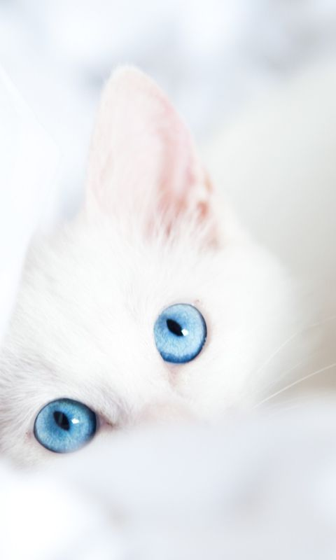 Two Blue Eyes Wallpaper For 480x800 Cute Animals Pretty Cats Cats