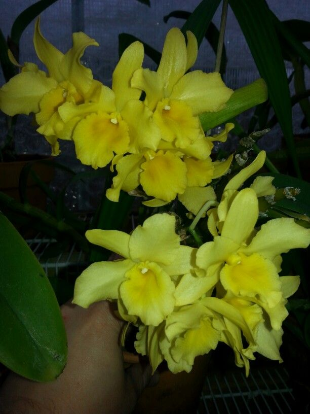 Dendrobium yellow song canary orchids pinterest orchid dendrobium yellow song canary mightylinksfo