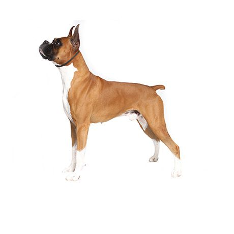 Boxers Fun Loving Bright Active And Loyal A Well Conditioned Boxer Is An Awesome Sight Click To Learn Mor Boxer Puppies Boxer Puppies For Sale Dog Breeds