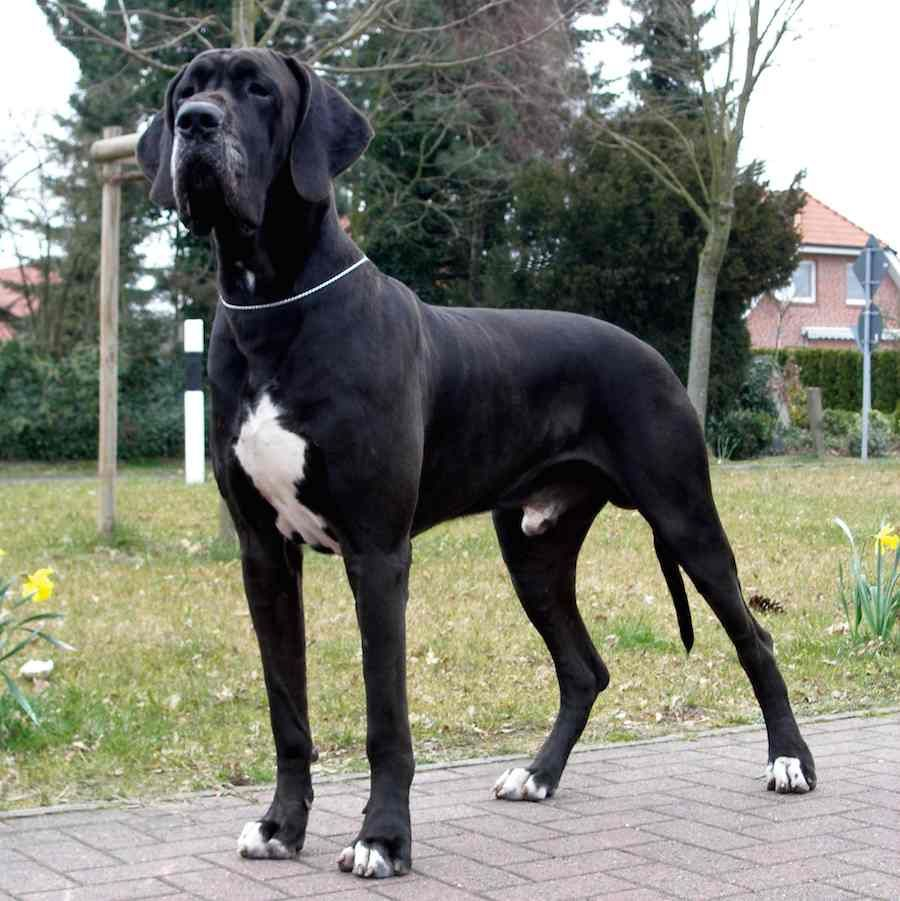 The Great Dane Is A Large German Breed Of Domestic Dog Known For