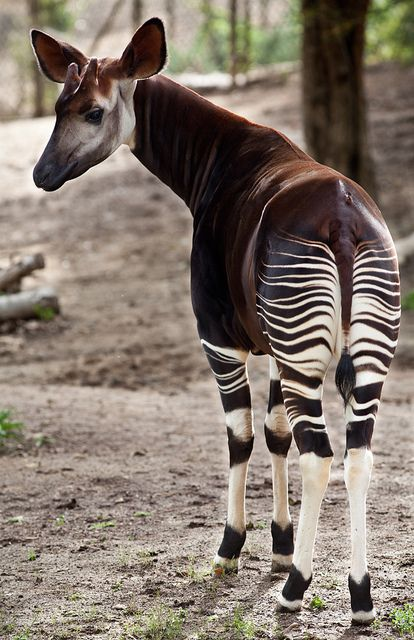 #Okapi by rccphoto, via Flickr Even though they look a lot like Zebras they are actually related to the Giraffe