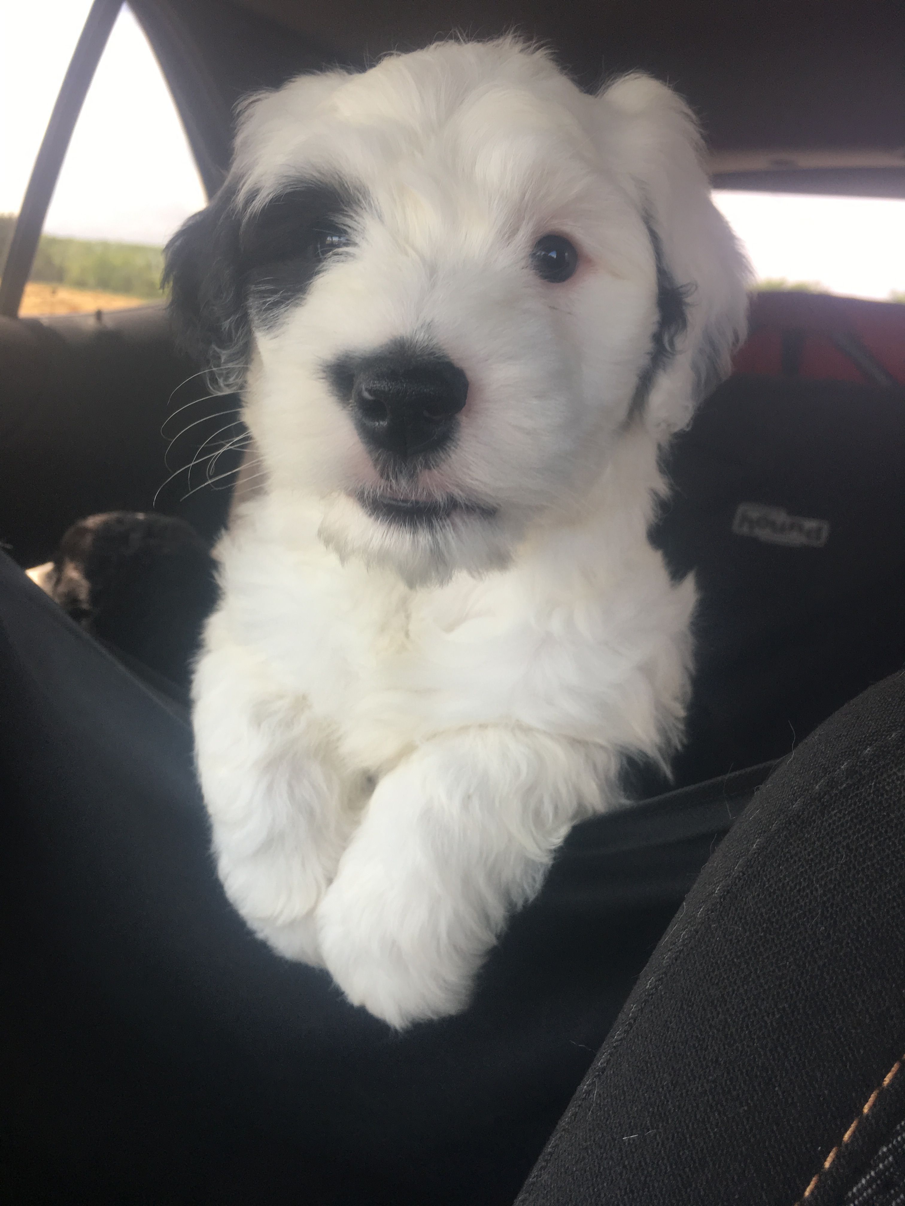 Sheepadoodle Puppy 2 Sisters Doodles | Paw prints on my heart