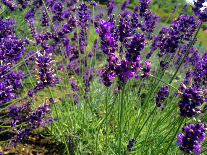 Aichi S Lavender Short Lived But A Fun Japanese Nature Next Flowers Beautiful Nature