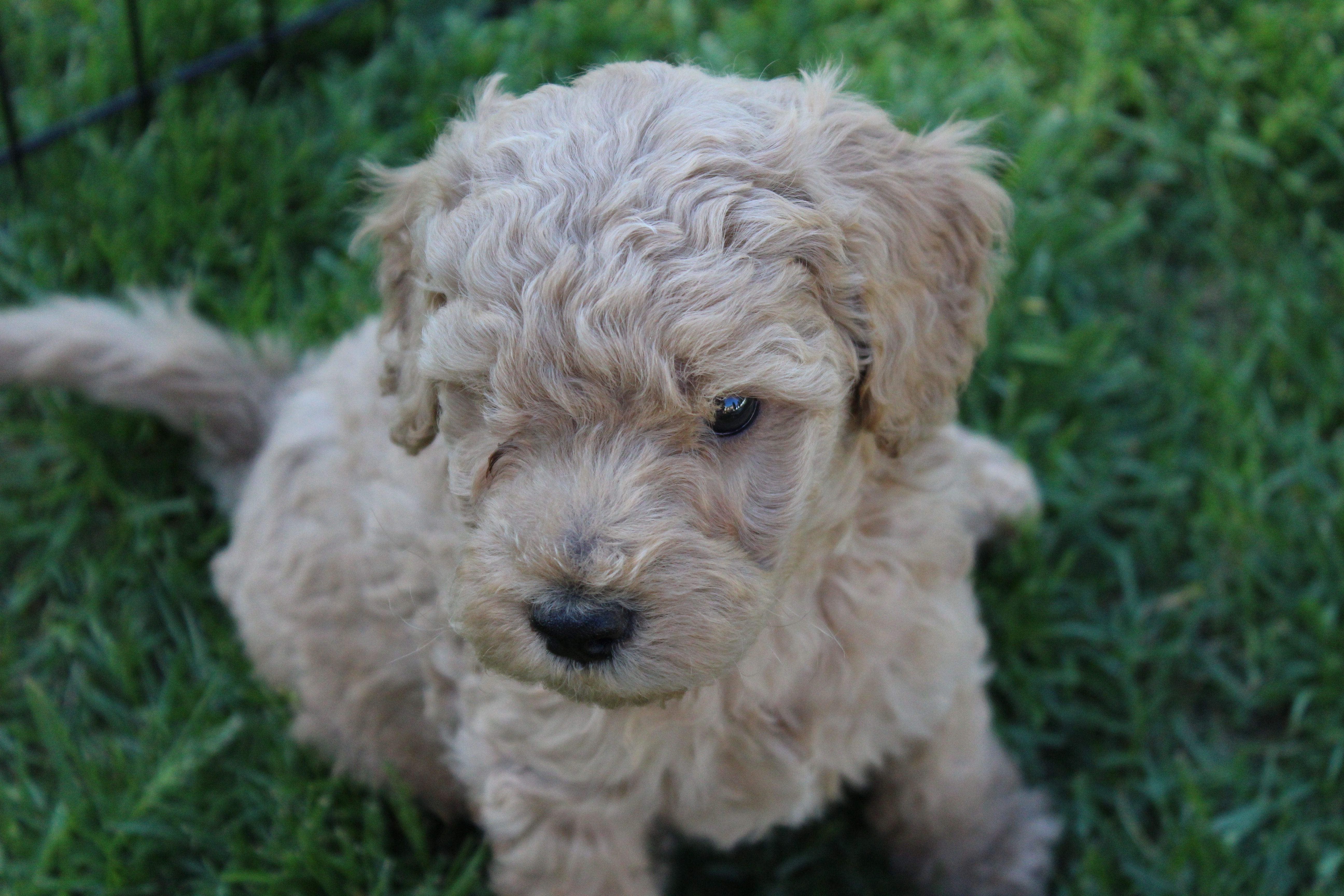Labradoodle puppy from High Country Labradoodles … (With