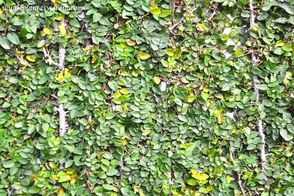 Ficus repens o pumila la enamorada del muro o ficus - Plantas trepadoras para muros ...