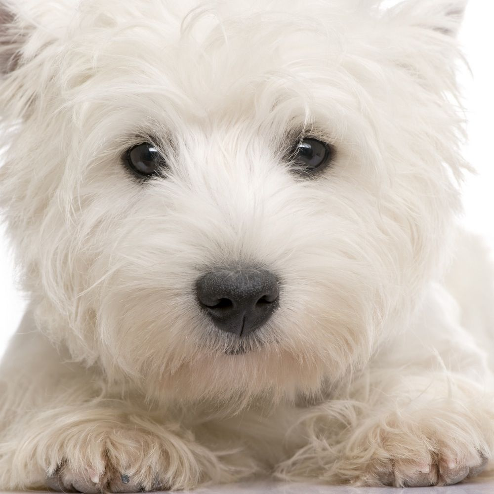 "West Highland White Terrier ""Westie"" Westies, Westie"