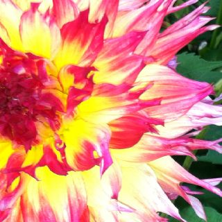 A dahlia with messy flaming hair