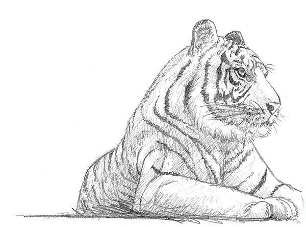 Tiger Zeichnen Bleistift Tiger Malen Tiger Zeichnung Zeichnen