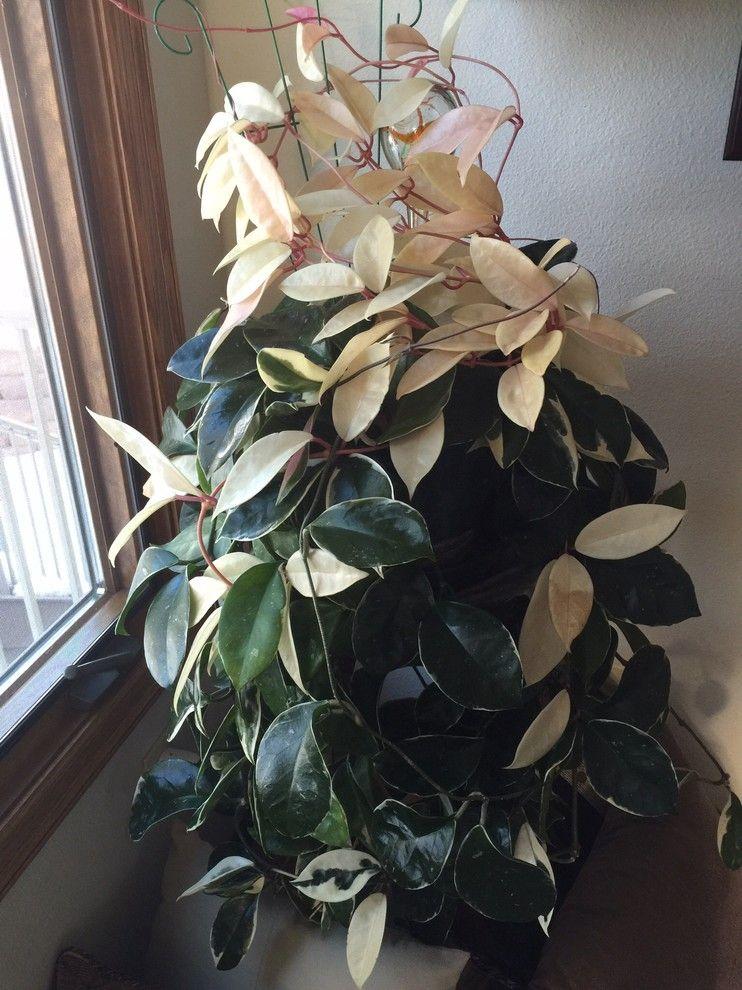 Hoya Carnosa Rubra Krimson Queen Variegated Plants I Want
