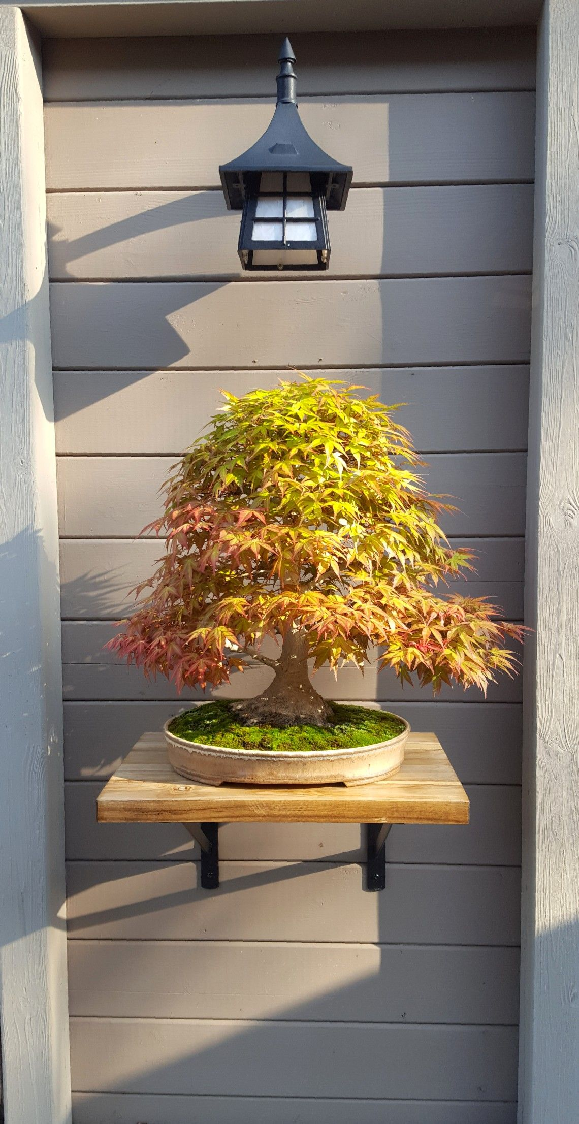 Japanese Maple starting to lose it's pink foliage and  turning  green. #japanesemaple