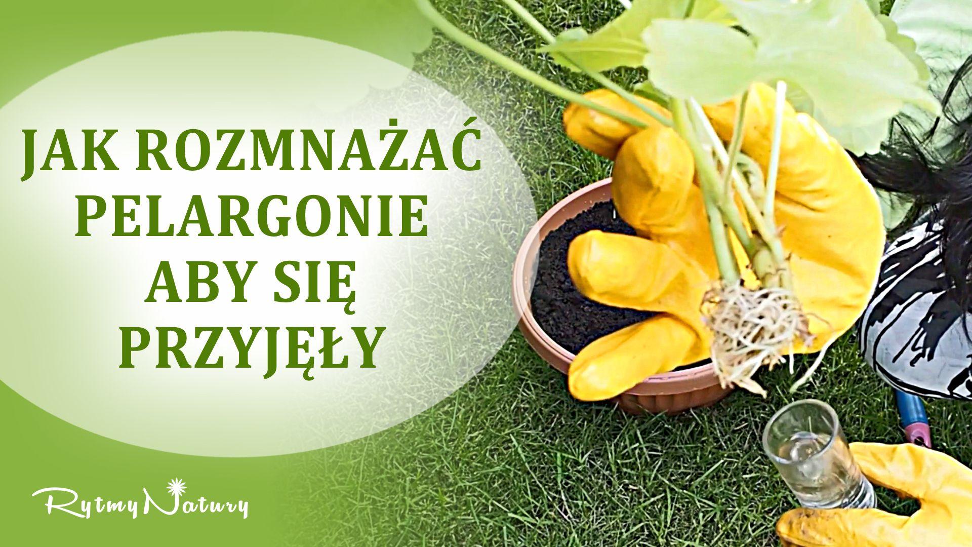 Jak Rozmnozyc Pelargonie Ze 100 Szansa Przyjecia Fruit Food