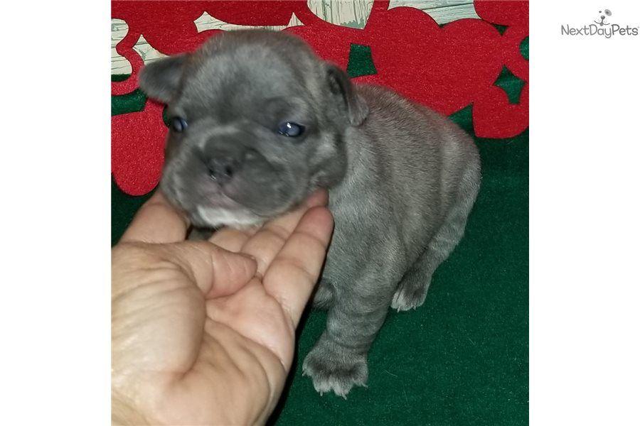 Sapphire French Bulldog Puppy For Sale Near Houston Texas