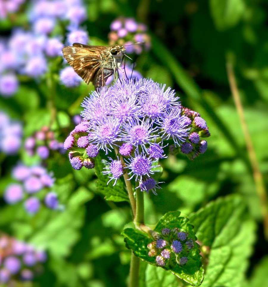 Ageratum Houstonianum Blue Mink Flower Seeds Flossflower Garden Ageratum Pirce Per Pkt Flower Seeds Flowers Rock Garden Plants