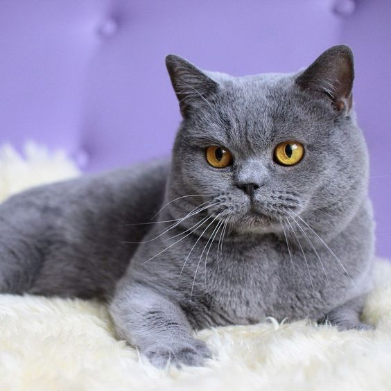 Grey cat breeds are known their unique and beautiful color