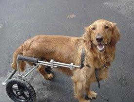 Eddie S Wheels Freedom For Disabled Dogs Disabled Dog Goofy Dog Dog Wheelchair